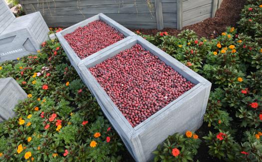 Cranberries (Image: Sam Howzit)